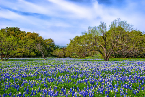 Texas Bluebonnets Bloom