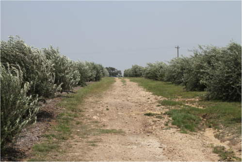 Olive orchards in Dripping Springs, TX