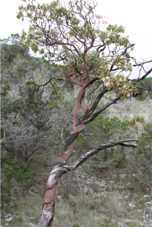 Texas Madrone Tree in Wimberley