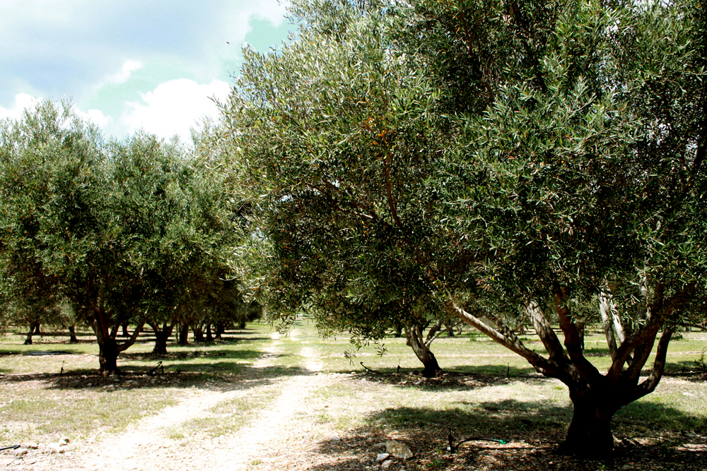 Bella Vista Ranch Olive Orchard