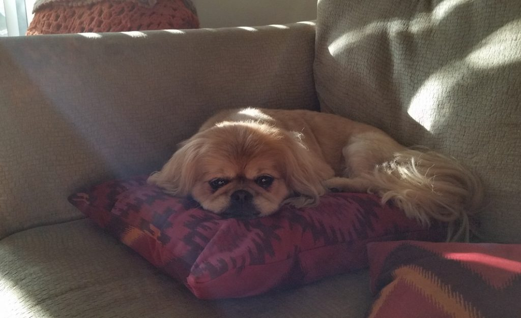 Pekingese Tired On A Pillow