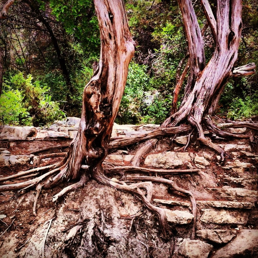 Exposed Tree Roots at Austin Greenbelt