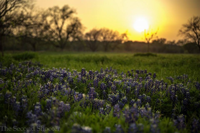 Bluebonnets at Sunset in Georgetown, TX