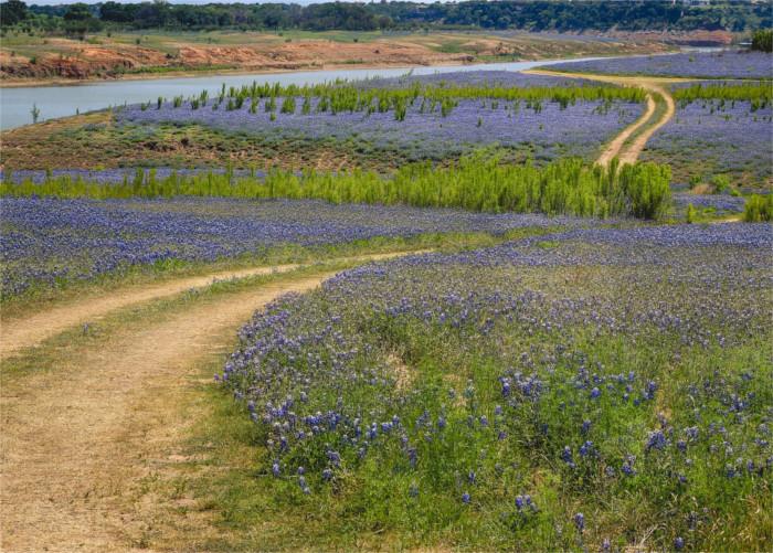 Bluebonnets Bloom Across a Field in Spicewood, TX
