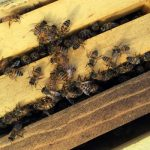 CrownFox Farms: Creating Positive Buzz for Bees