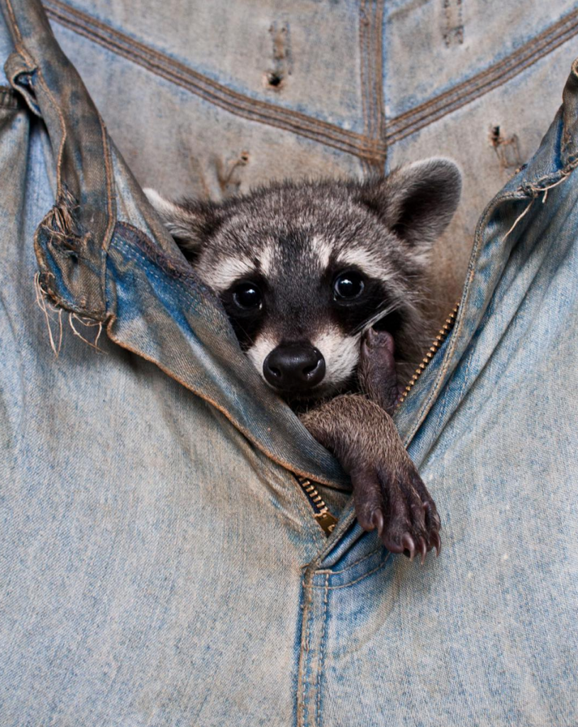 Rescued Baby Raccoon