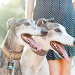 5 Reasons to Adopt a Greyhound in Austin
