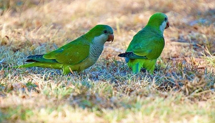 Monk Parakeets in Austin