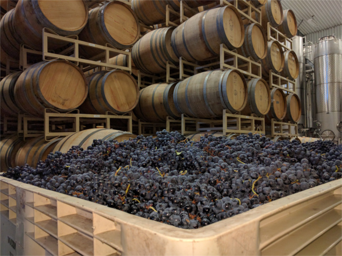 Duchman Family Winery Grape Harvest