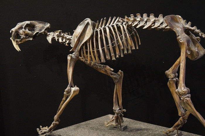 Saber Toothed Cat Exhibit at Museum of Science and Technology