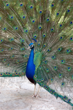 Mayfield Park Peacock