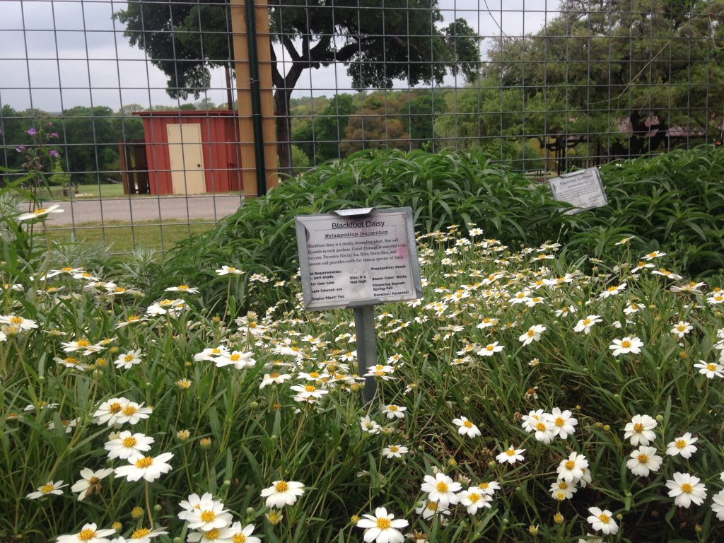 Native flowers at Camp Mabry educational garden