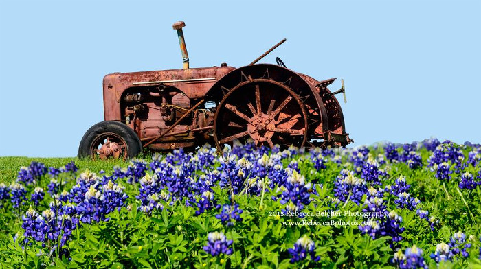 Bluebonnets with Tractor Bolivar Peninsula TX