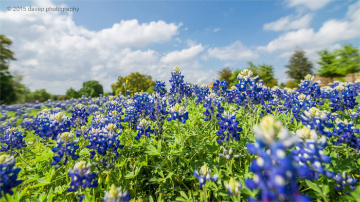 Bluebonnets on William Cannon in Austin