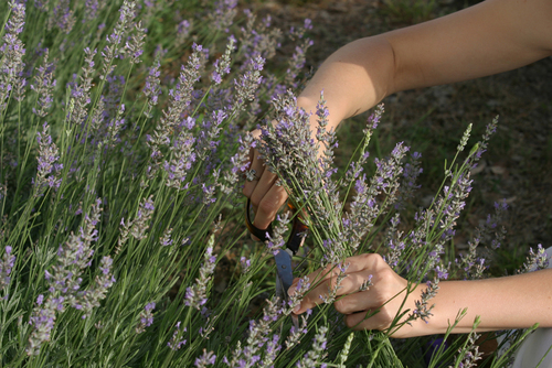 Cut Your Own Lavender in Blanco