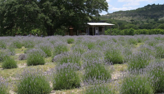 Hill Country Lavender in Blanco, TX