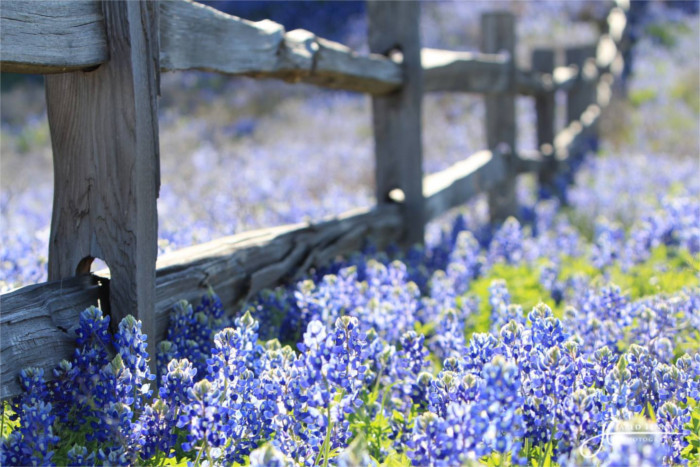 Bluebonnets in Bloom in Burnet TX