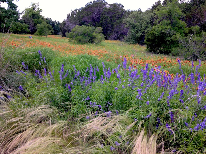 Austin wildflowers at Lady Bird Johnson Wildflower Center