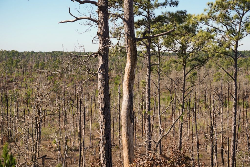Bastrop State Park Pine Trees