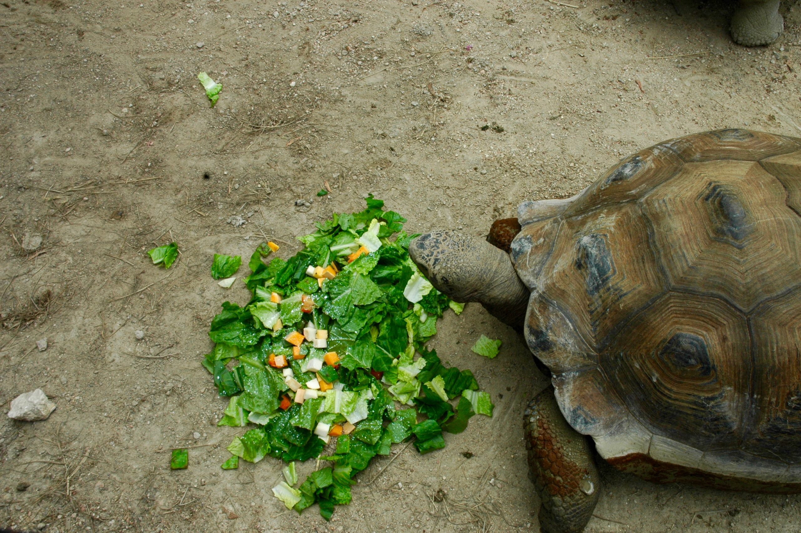Galapagos Tortoise Eating Salad