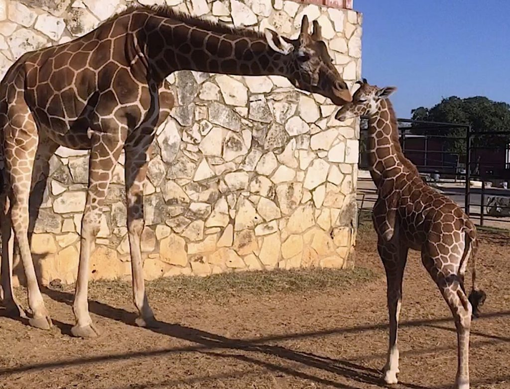 Giraffe Conservation at Natural Bridge Wildlife Ranch