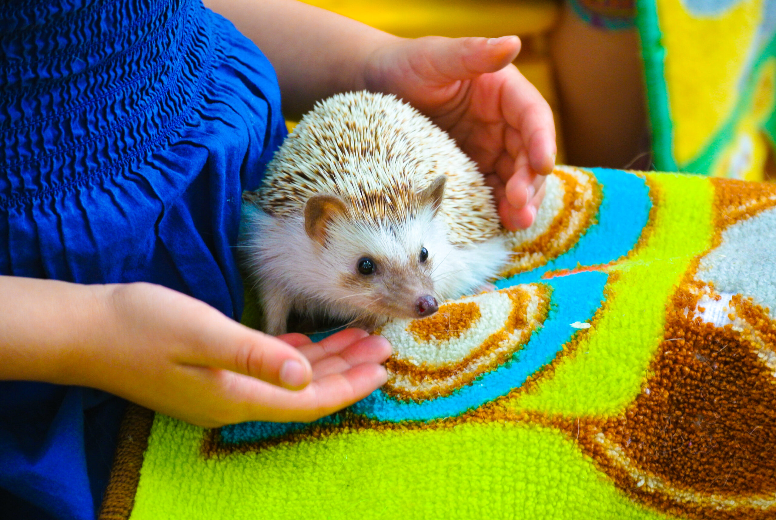 Baby Hedgehog at Tiny Tails to You Traveling Petting Zoo