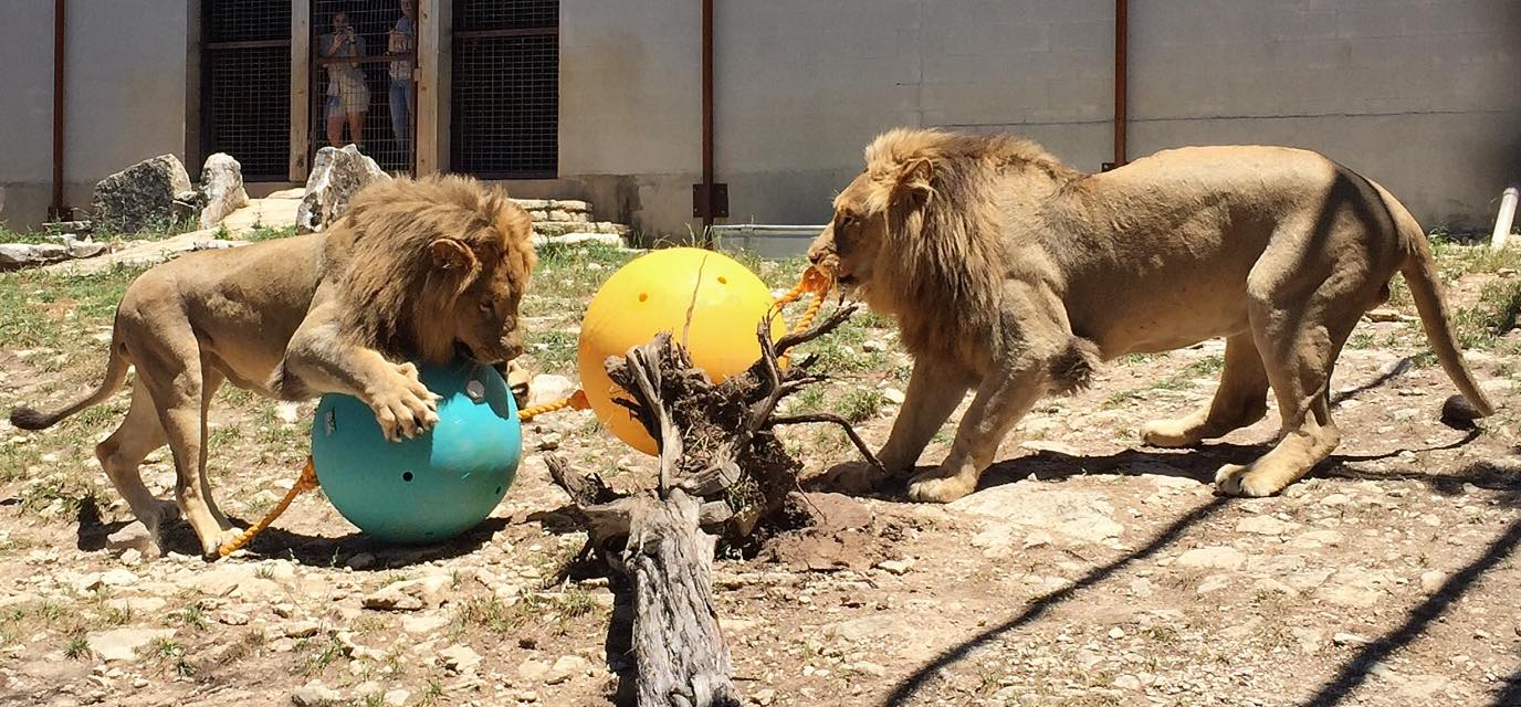 Transvaal Lions at Austin Zoo