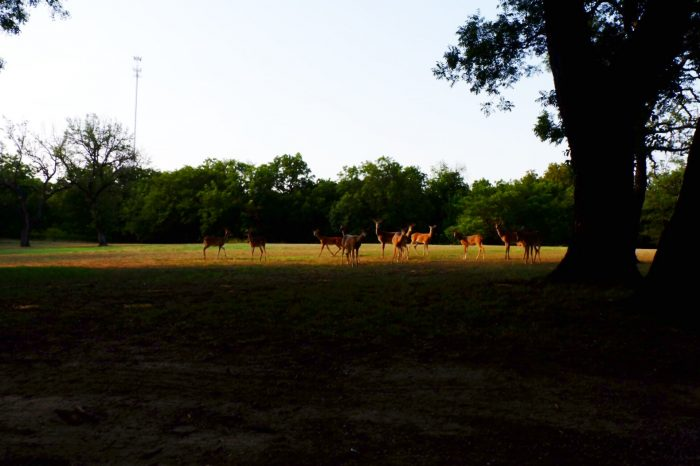 Deer in Comanche City Park