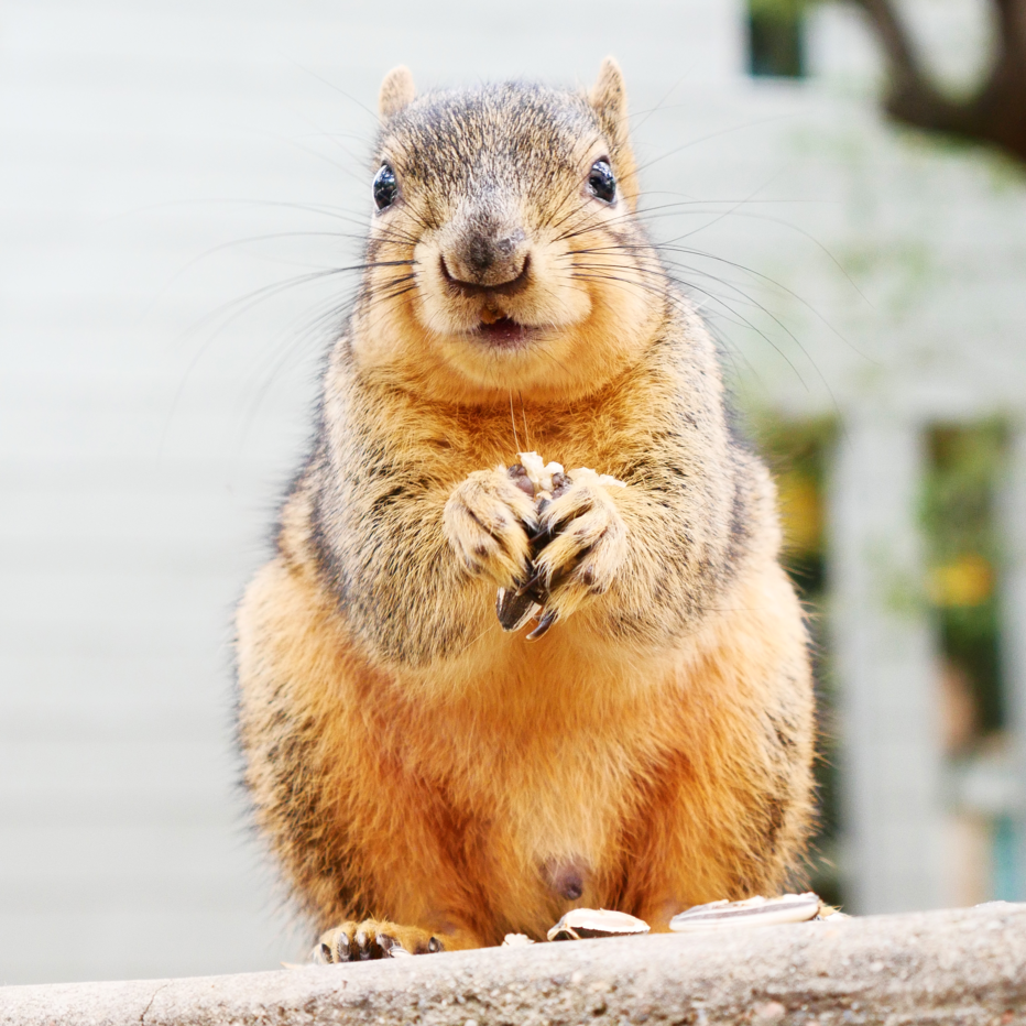 Squirrels of Austin Bilbo